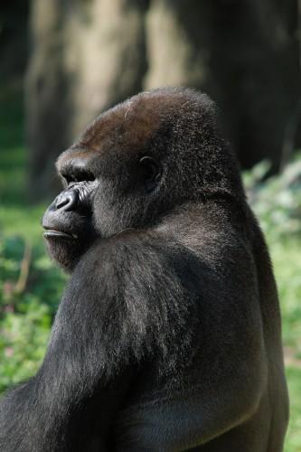 zoo_gorilla_01_miko