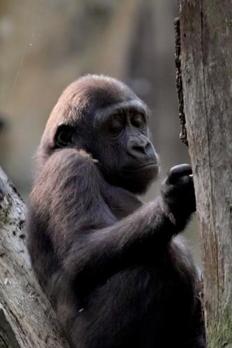 zoo_gorilla_02_big_miko