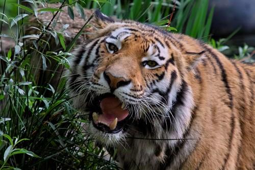 zoo_tiger_02_miko